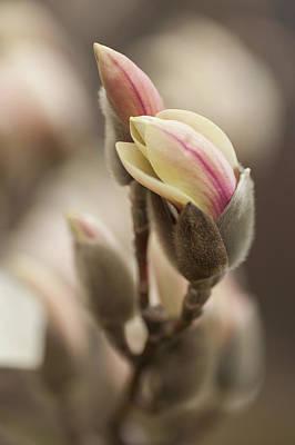 Photograph - Zen Magnolia Buds by Jenny Rainbow