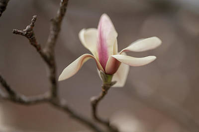Photograph - Zen Magnolia Flower by Jenny Rainbow