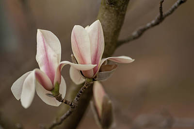 Photograph - Zen Magnolia Flowers by Jenny Rainbow