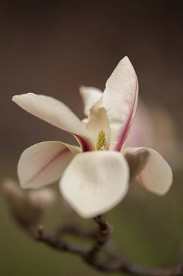 Photograph - Zen Magnolia by Jenny Rainbow