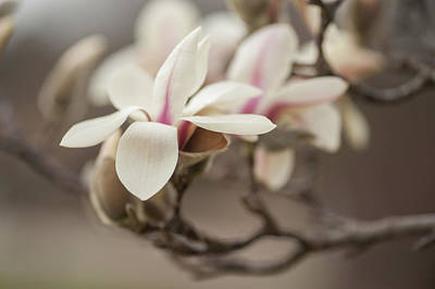 Photograph - Zen Magnolia Open Flowers by Jenny Rainbow