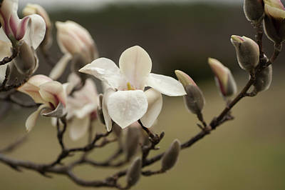 Photograph - Zen Magnolia Soft Bloom 1 by Jenny Rainbow