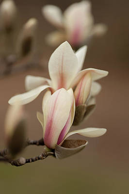 Photograph - Zen Magnolia Soft Blooms by Jenny Rainbow