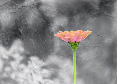 Photograph - Zinnia 2018-1 by Thomas Young