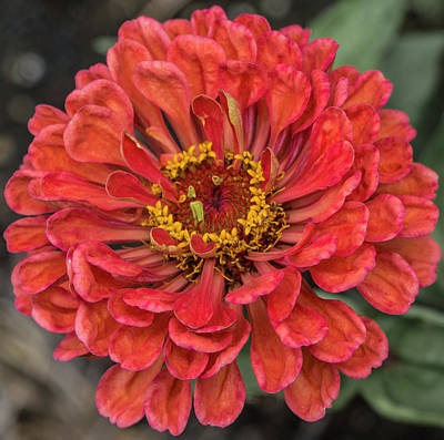 Photograph - Zinnia Elegans Persian Carpet by Venetia Featherstone-Witty
