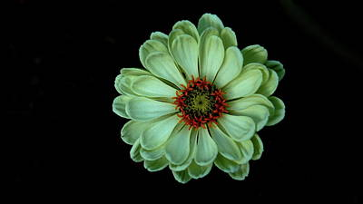 Photograph - Zinnia Joy by Allen Nice-Webb