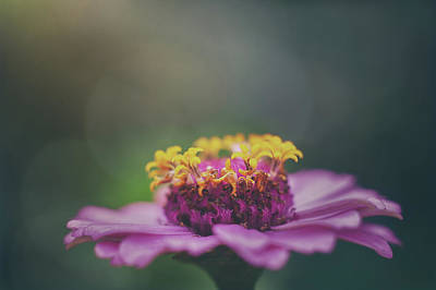 Food And Flowers Still Life Rights Managed Images - Zinnia Royalty-Free Image by Scott Norris