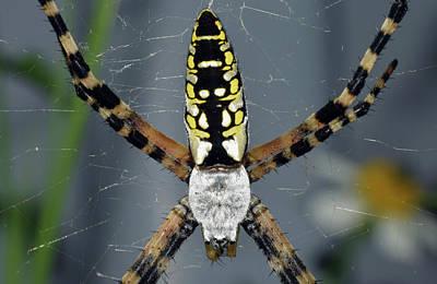 Photograph - Zipper Spider by Larah McElroy