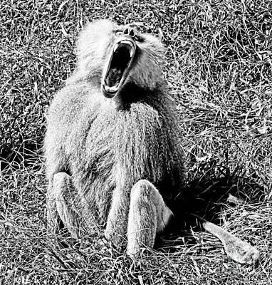 Graduation Hats Royalty Free Images - Zoo Art - Baboon Royalty-Free Image by Kerri Farley