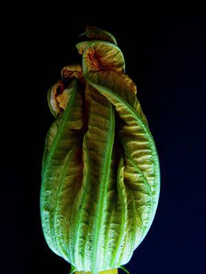 Zucchini Photograph - Zuccini Flower by Kieran Scott