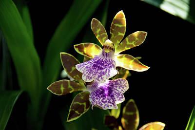 Photograph - Zygo Blue Blazes Orchid by Jennifer Wick