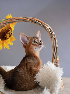 Royalty-Free and Rights-Managed Images - Abyssinian Kitten by Nailia Schwarz