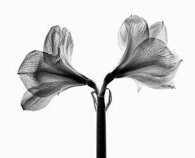 Photograph - Amaryllis by Nailia Schwarz
