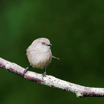 Photograph - American Bushtit - Summer by Brad Mitchell