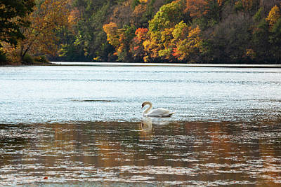 Bringing The Outdoors In - Autumn Swan by Karol Livote