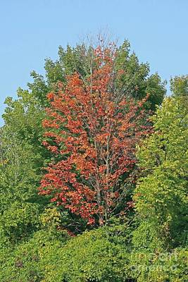 Rights Managed Images - Autumn Treetops Royalty-Free Image by Ann Horn