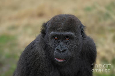 Katharine Hepburn - Baby Gorilla by Rawshutterbug