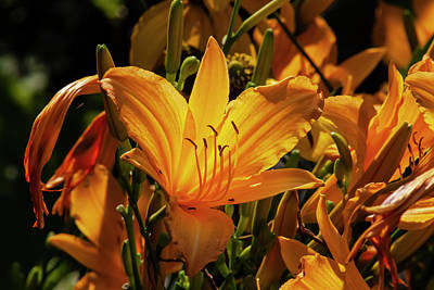 World Forgotten Rights Managed Images - Back Lit Lilies Royalty-Free Image by Robert Ullmann
