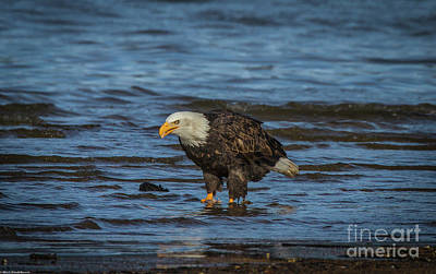 Animal Portraits - Bald Eagle 23 by Mitch Shindelbower