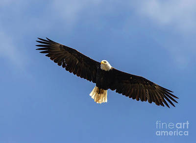 Steven Krull Royalty-Free and Rights-Managed Images - Bald Eagle in Majestic Flight by Steven Krull