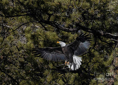 Steven Krull Royalty-Free and Rights-Managed Images - Bald Eagle Spread Wings by Steven Krull