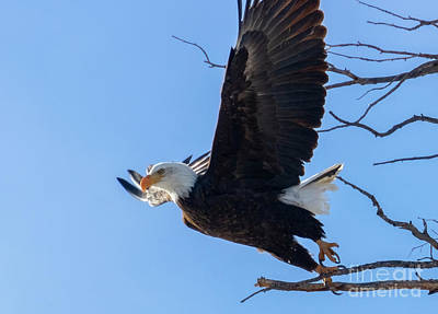 Steven Krull Royalty-Free and Rights-Managed Images - Bald Eagles Taking Flight by Steven Krull