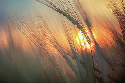 World Forgotten Rights Managed Images - Barley Sunset Royalty-Free Image by Chris Fletcher