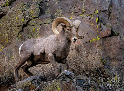 Steven Krull Royalty-Free and Rights-Managed Images - Bighorn Sheep Waterton by Steven Krull