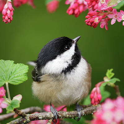 Photograph - Black-Capped Chickadee - Spring by Brad Mitchell