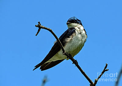 On Trend At The Pool - Blue On Blue - Tree Swallow by Cindy Treger