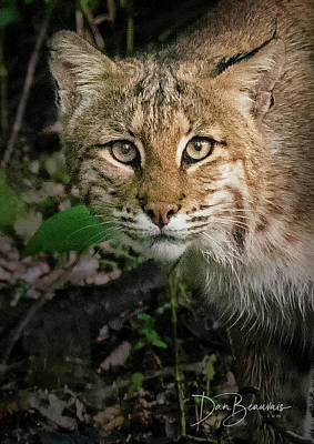 Dan Beauvais Royalty-Free and Rights-Managed Images - Bobcat 8639 by Dan Beauvais