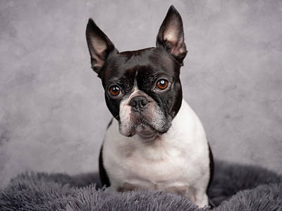 Royalty-Free and Rights-Managed Images - Boston Terrier Portrait by Nailia Schwarz