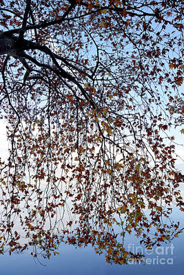 Red Roses - Branches of plane tree by Athina Psoma