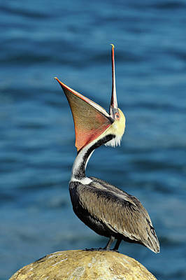 Royalty-Free and Rights-Managed Images - Brown Pelican by Doug Oglesby