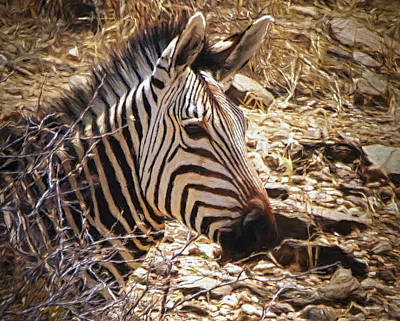 All Black On Trend - Cape mountain zebra by Ernie Echols