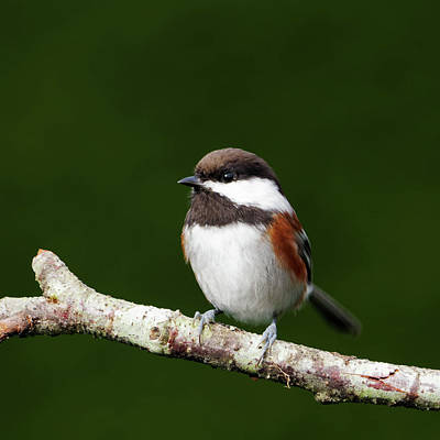 Photograph - Chestnut-Backed Chickadee - Summer by Brad Mitchell