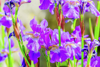 Royalty-Free and Rights-Managed Images - Close Up A Of Group Of Iris Flowers by David Ridley