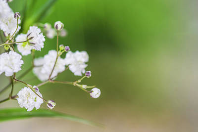 Giuseppe Cristiano - Closeup Gypsophila On Blur Background Of Other Gypsophila. by David Ridley