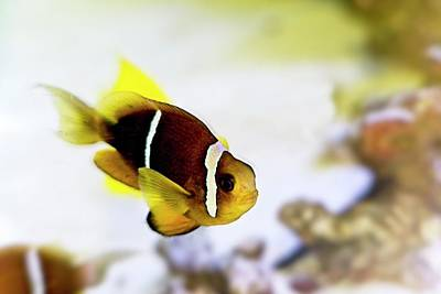 Have A Cupcake - Clownfish 1 by Douglas Barnett