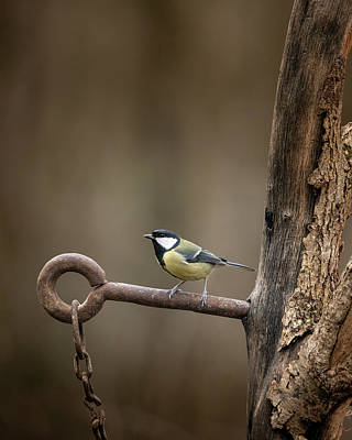Anne Geddes - Colourful vibrant Great Tit bird Parus Major on rusty chain and  by Matthew Gibson