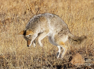 Steven Krull Royalty-Free and Rights-Managed Images - Coyote on the Hunt by Steven Krull