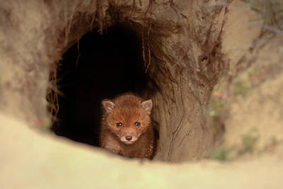 Photograph - Cute Overload Series - Baby Fox by Roeselien Raimond