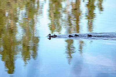 Whimsically Poetic Photographs Rights Managed Images - Family Of Wild Ducks On A Small Lake In The Wild Royalty-Free Image by Alex Grichenko