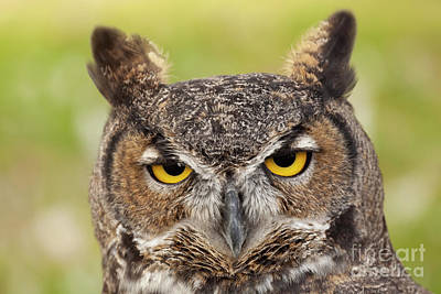 Royalty-Free and Rights-Managed Images - Great Horned Stare by Mike Dawson