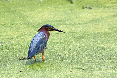 Lucille Ball Royalty Free Images - The Green Heron Royalty-Free Image by Diann Fisher