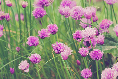 Royalty-Free and Rights-Managed Images - group of Chive Purple flowers in a garden by David Ridley