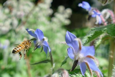 Caravaggio - Honeybee collecting pollen on borage flowers by Steve Estvanik