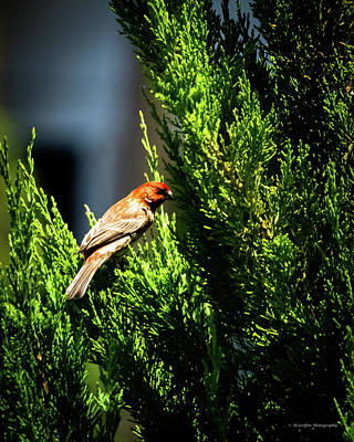 Travel Rights Managed Images - House Finch II Royalty-Free Image by Al Griffin