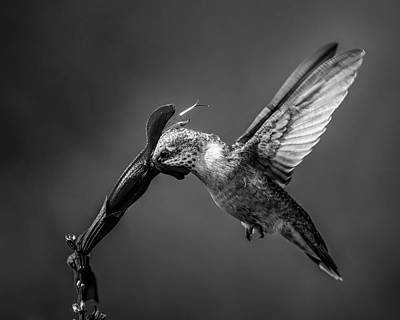 Royalty-Free and Rights-Managed Images - Hummingbird by Celestial Images