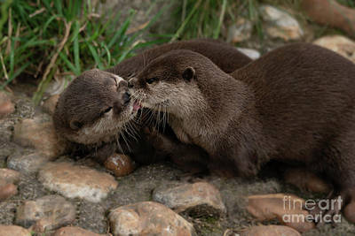 Comedian Drawings Rights Managed Images - Kissing Otters Royalty-Free Image by Rawshutterbug